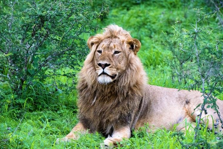 Løve - forside