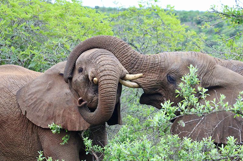 Elefant KZN - thumbnails