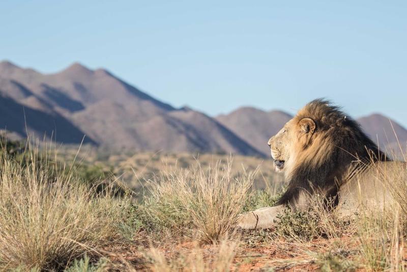 lion - tswalu